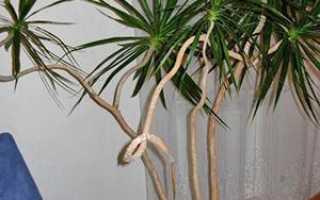 Драцена размножение в домашних условиях верхушечными черенками, семенами, отводками: видео, фото, советы