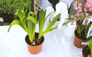 Выгонка гиацинтов в домашних условиях: как получить цветы к 8 марта и что делать после выгонки