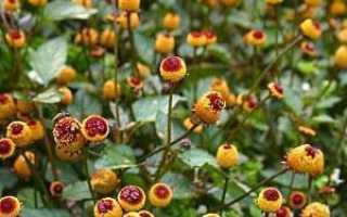 Спилантес: фото, выращивание из семян, посадка, уход, лечебные свойства