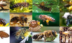 Породы пчел с фото и описанием, названиями: характеристика разновидностей, сравнение, описание видов