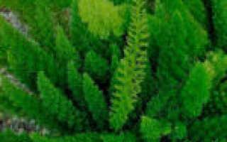 Аспарагус Мейера: уход в домашних условиях, фото, выращивание из семян