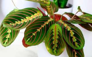 Цветок маранта: уход в домашних условиях, виды с фото и названиями, размножение, лечебные свойства