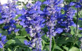 Шалфей: посадка и уход за популярными сортами сальвии в саду