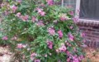 Выращивание шток-розы из семян: когда сажать, как пикировать, как ухаживать за рассадой