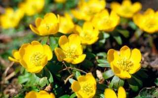 Эрантис (весенник): фото цветов, размножение, посадка и уход
