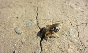 Подземные земляные пчелы: как выглядят с фото, как добыть мед, как избавиться от насекомых