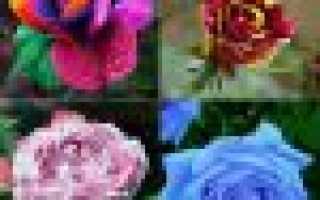 Как вырастить розу из семян в домашних условиях из Китая: ответы на все вопросы