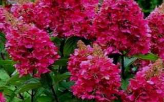 Гортензия Вимс Ред: фото и описание wim's red, посадка и уход, зимостойкость, отзывы