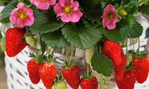 Клубника на подоконнике круглый год: как вырастить клубнику в квартире и получать урожаи