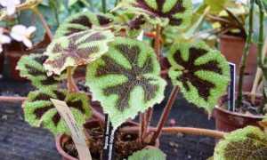 Бегония Мэсона: фото. уход в домашних условиях, размножение листом