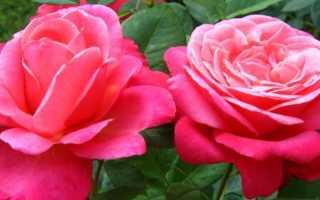 Чайно-гибридные розы: наиболее интересные сорта с фото и описаниями