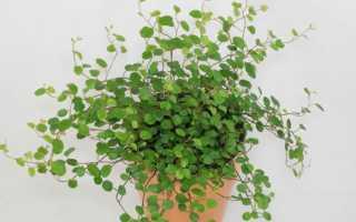 Мюленбекия: уход в домашних условиях, размножение, фото растения