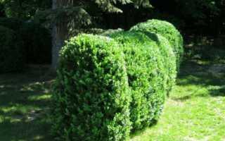 Посадка, уход и размножение самшита – особенности уличного растения