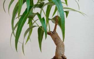Комнатные растения: брахихитон наскальный, разнолистный, кленолистный – фото, уход в домашних условиях