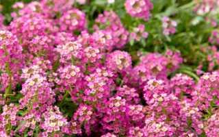 Алиссум: посадка и уход в открытом грунте, фото цветов на клумбе