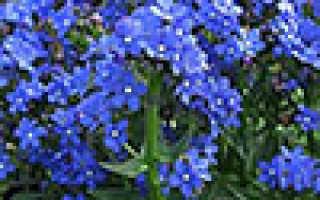 Анагаллис: фото цветов, выращивание из семян, посадка и уход