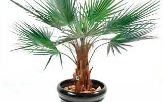 Пальма вашингтония: уход в домашних условиях, выращивание из семян, фото растения