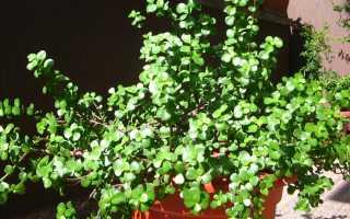 Портулакария: афра (portulacaria afra), вариегата, бонсай, фото, уход в домашних условиях, размножение