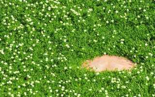 Мшанка шиловидная – выращивание, уход, отзывы