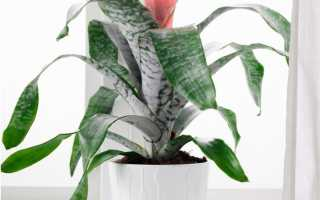 Эхмея (полосатая, сверкающая): фото, уход в домашних условиях, посадка, цветение, размножение