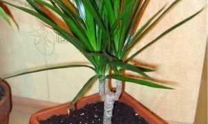 Драцена маргината окаймленная (Dracaena Marginata): фото, уход в домашних условиях, пересадка после покупким