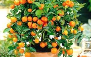Апельсин из косточки в домашних условиях: выращивание, посадка, уход