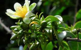 Листовой кактус переския шиповатая: посадка и уход в домашних условиях, фото