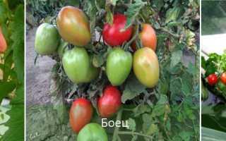 Низкорослые томаты для теплицы: лучшие сорта самоопыляемых помидор без пасынкования – какие семена выбрать