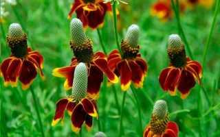 Ратибида колоновидная мексиканская шляпа: выращивание из семян, посадка и уход, фото цветка-сомбреро
