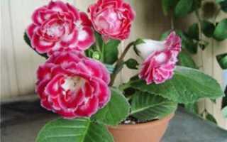 Глоксиния: посадка клубня, как правильно посадить после зимнего покоя, видео, как хранить зимой, как разбудить, разделить