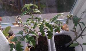 Помидоры на балконе или подоконнике: выращивание пошагово, уход, почему вянет и сохнет рассада томатов