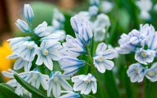 Пушкиния: описание цветка, фото, посадка и уход в открытом грунте, виды и сорта