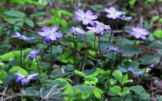 Цветок печеночница: фото растения, описание, посадка и уход