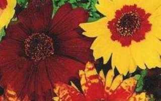 Кореопсис многолетний и однолетний: фото цветов, посадка и уход, выращивание из семян