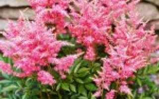 Астильба: размножение, выращивание из семян, уход осенью, подготовка к зиме