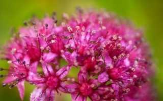 Растение заячья капуста (очиток пурпурный, скрипун): фото, лекарственные свойства, как выглядит, рецепты применения