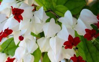 Клеродендрум Томпсона: уход в домашних условиях, фото, не цветет – что делать, размножение черенками