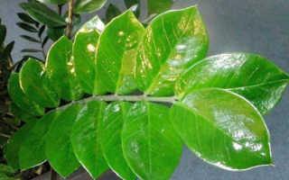 Замиокулькас (долларовое дерево): фото, уход в домашних условиях, пересадка, цветение