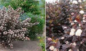 Пузыреплодник калинолистный диабло: посадка и уход за растением