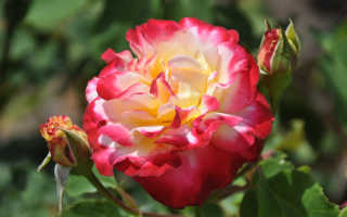 """Роза """"Дабл Делайт""""(Double Delight): фото и описание, отзывы, нюансы выращивания, где купить"""