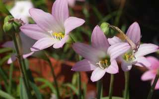 Габрантус мощный, робустус (robustus): фото, описание растения, посадка и уход в домашних условиях