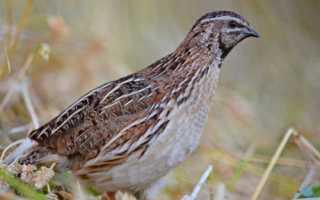 Птичий помет как удобрение (голубиный, гусиный, перепелиный, утиный): как применять, использование, переработка