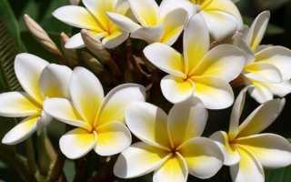 Плюмерия (франжипани): уход в домашних условиях, посев из семян, фото
