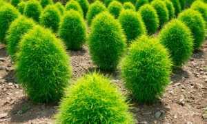 Кохия: выращивание из семян в домашних условиях, когда сажать, фото растения, посадка и уход