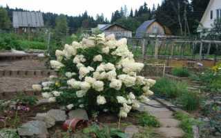 Гортензия на Урале: выращивание в саду и огороде, когда садить и открывать, сорта гортензии для Урала