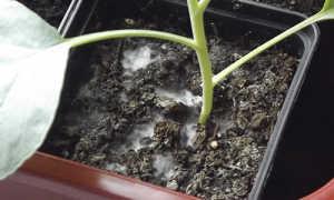 Появился белый налет на земле на рассаде: что делать, почему плесневеет земля, чем обработать