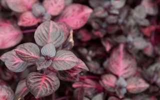Ирезине: фото, выращивание, посадка, уход в домашних условиях, виды и сорта