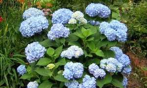 Чем подкормить гортензию весной для пышного цветения в саду и для активного роста после зимней спячки