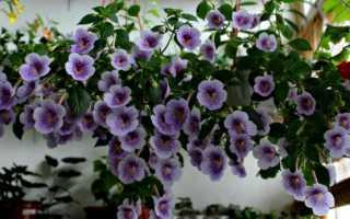 Посадка ахименесов ризомами весной: фото, как прорастить, разбудить, видео