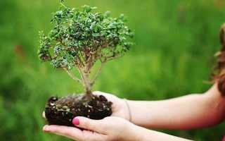 Бонсай: как вырастить своими руками в домашних условиях китайское или японское карликовое дерево в горшке, как ухаживать